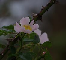 Dog Rose by DEB VINCENT
