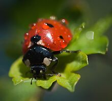 Ladybird on a leaf by lautsu