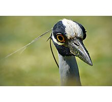Yellow-Crowned Night Heron Photographic Print