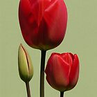 Three Red Tulips by AndrewWright50