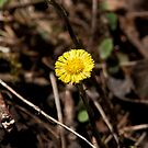 Coltsfoot by Mike Oxley