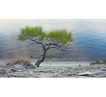 Lone Pine on shore of sea Photographic Print