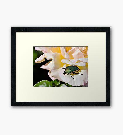 June Beetle Framed Print