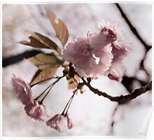 Cherry Blossoms, Kyoto, Japan Poster