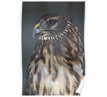 Northern Harrier Poster