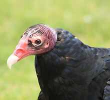 "Turkey Vulture - ""Snoopy"" by Alyce Taylor"