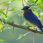 Bluebird by Caren