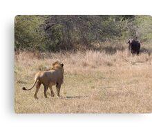 Lion Meets Buffalo Canvas Print