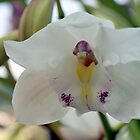 Perfection; White-cymbidium orchid; Patricia Merz Greenhouse, Granada Hills, CA USA by leih2008