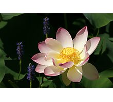 Lotus by the Side of the Road Photographic Print