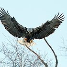Bald Eagle - 8121 by BartElder