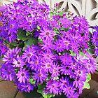 Purple Profusion - Mature Cinerarias by BlueMoonRose