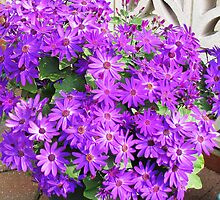 Purple Profusion - Mature Cinerarias by BlueMoonRose