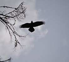 Crow backlit by Kate Farkas