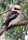 Kookaburra Sitting in a Tree by Vicki73