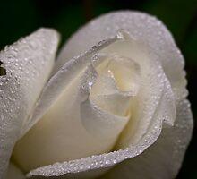 White rosebud in the rain by Celeste Mookherjee