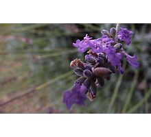lavender blossoms - macro Photographic Print