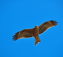 Black Kite (Milvus migrans) by Geoff Beck
