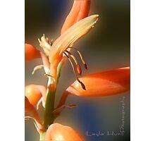 Aloe Vera Blooms Photographic Print