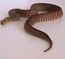 Woma Python - Apidites ramsayi by yeldarb