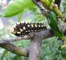 Caterpillar on Lime Tree by Maryanne Lawrence