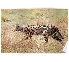 Serval Cat, Female, Serengeti, Tanzania  Poster