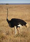 Male Ostrich, Serengeti, Tanzania  by Carole-Anne