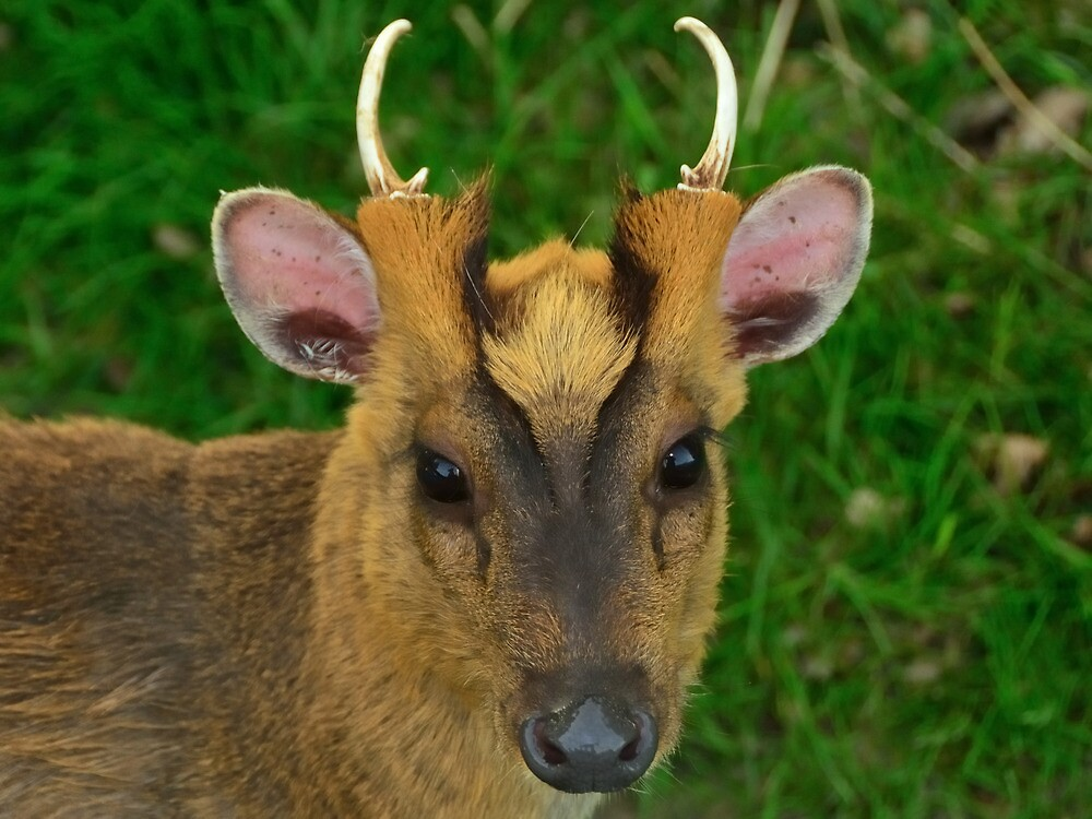 Muntjac Deer by Stephen Frost