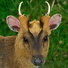 Muntjac Deer by Steve