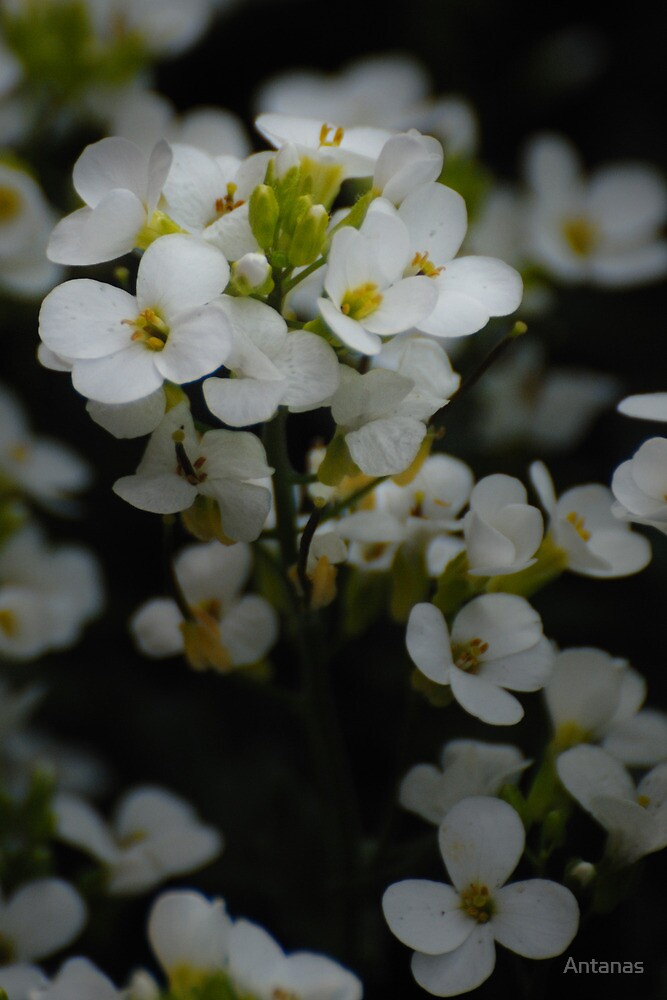 White flowers from my garden by Antanas