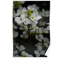 White flowers from my garden Poster