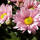 Pink Chrysanthemum by reflector