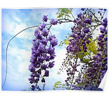 Elegant bunches of wisteria Poster