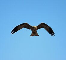 Hawk in flight  by KellyMac01