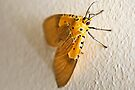 Specious Tiger Moth by RatManDude