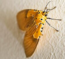 Specious Tiger Moth by RatManDude