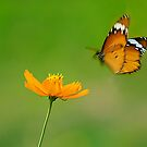 Butterfly in Flight by Mukesh Srivastava