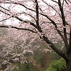 Cherry Tree in Rain #2 by tomoenk6