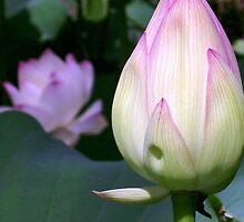 Lotus Bud by Jason Dymock Photography