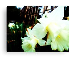 Daffodil's in the Spring  Canvas Print