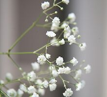 Gypsophila by LynnEngland