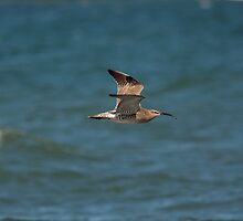 Whimbrel in flight by Jon Lees