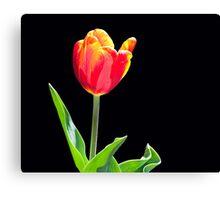 Tulip agains black background. Canvas Print