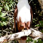 Sea Eagle on Bribie Island by Stephen Quennell