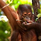 Orang Utan by Matthew Walters