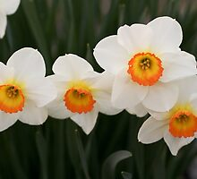 Daffodils by DevinLeith