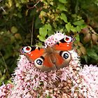 Peacock Butterfly by Deb Vincent