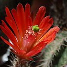 Cactus Flower by Ralph Angelillo