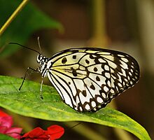 Paper kite (Idea leuconoe) by Thad Zajdowicz