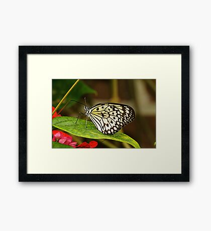 Paper kite (Idea leuconoe) Framed Print